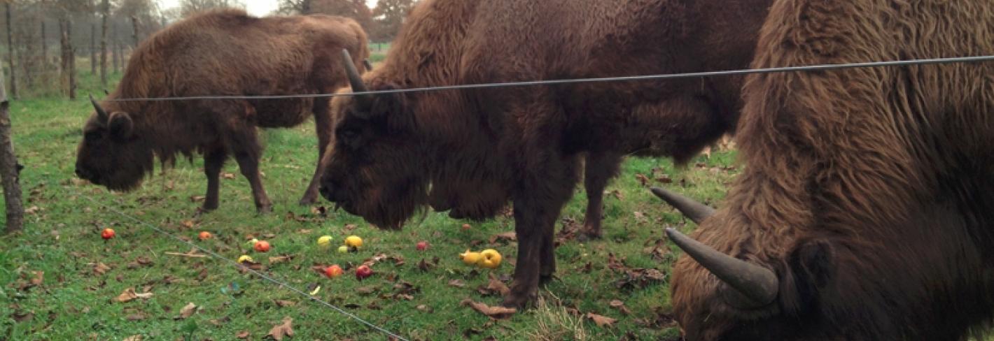 conservacion-bisonte-europeo_jpg.jpg